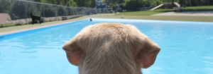 Dog at the Pool