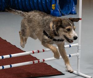 Dog practicing jumping